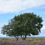 Heide mit Baum